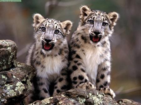 snow-leopards