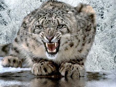 snow-leopard-pic