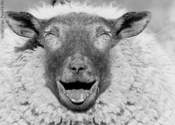 happy-eid-sheep